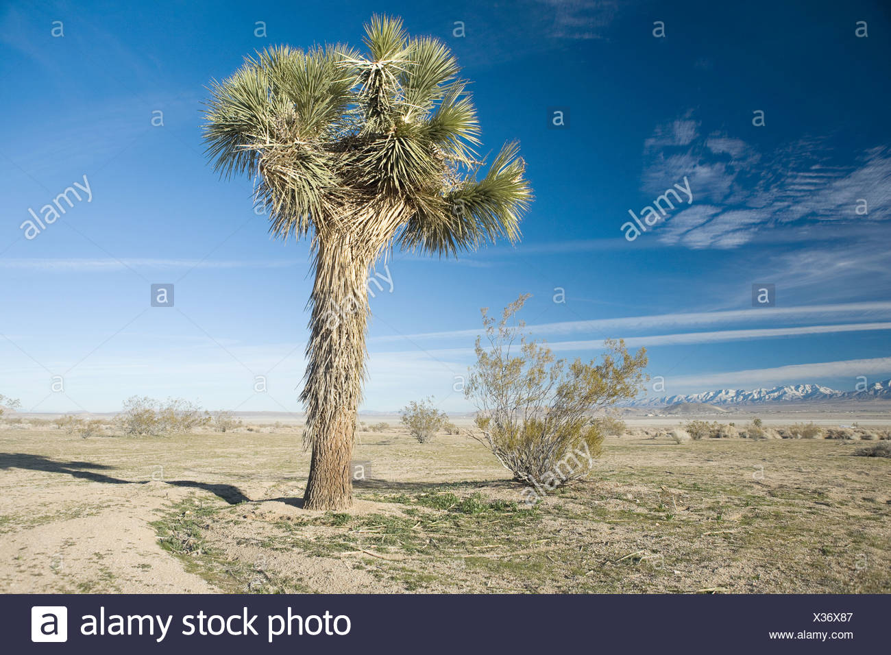 Tree on the Californian salt flats - Stock Image