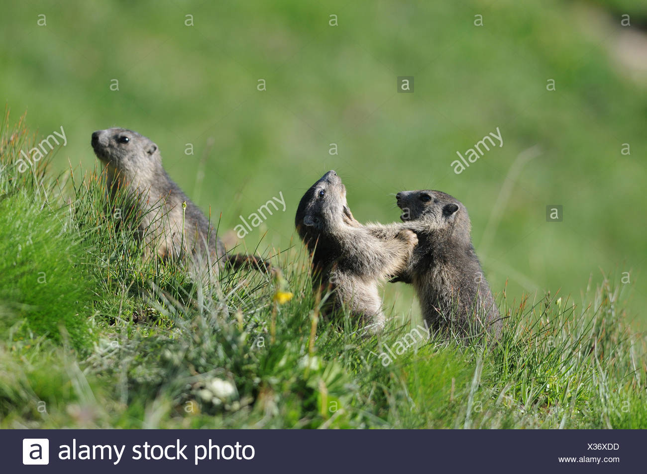 Young Alpine Marmots playing - Queyras Alps France - Stock Image