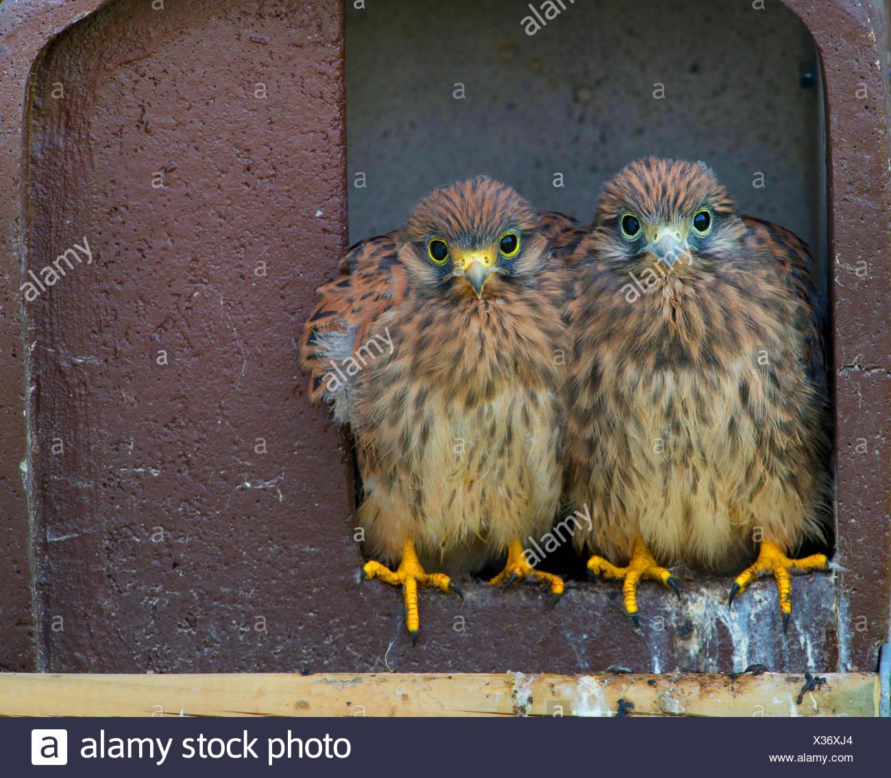 European Kestrel, Eurasian Kestrel, Old World Kestrel, Common Kestrel (Falco tinnunculus), two squabs sitting together in a nesting box, front view, Germany, Bavaria Stock Photo