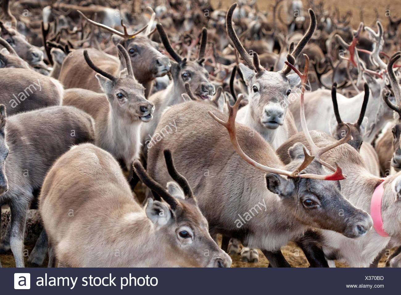 Sweden, Lapland, Levas, Herd of reindeer (Rangifer tarandus) Stock Photo