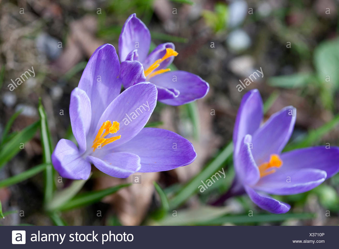 Crocuses, iris plants, Iridaceae, - Stock Image