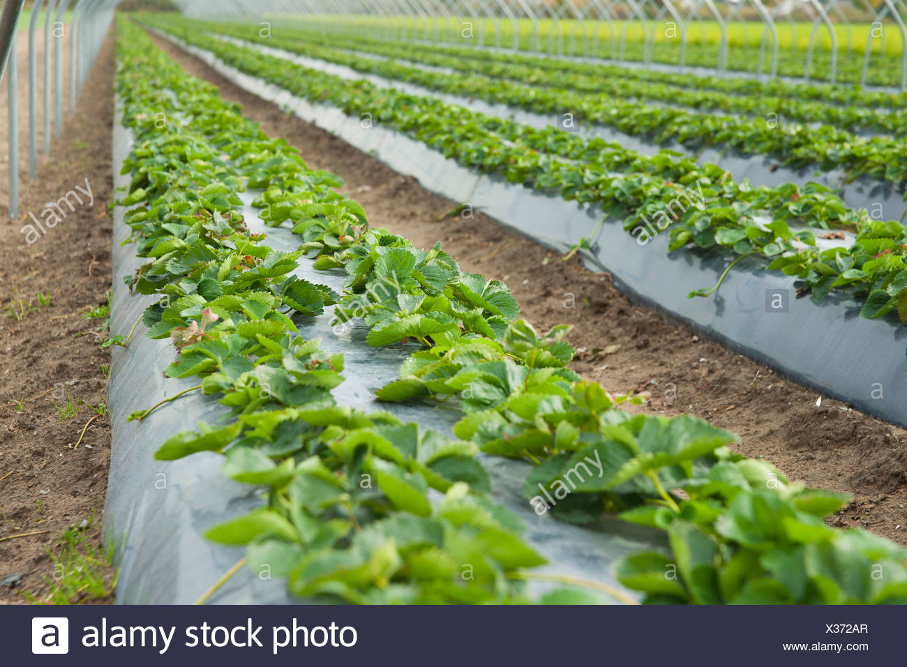 Raised Strawberry Bed Stock Photo 277365391 Alamy