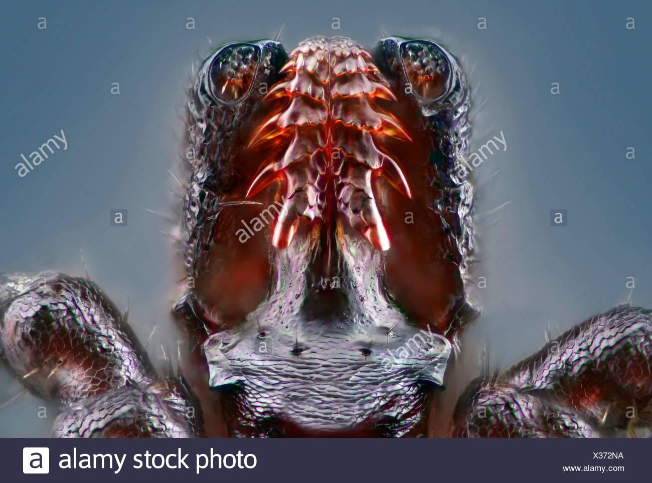 Proboscis Of A Tick Stock Photos & Proboscis Of A Tick Stock Images ...