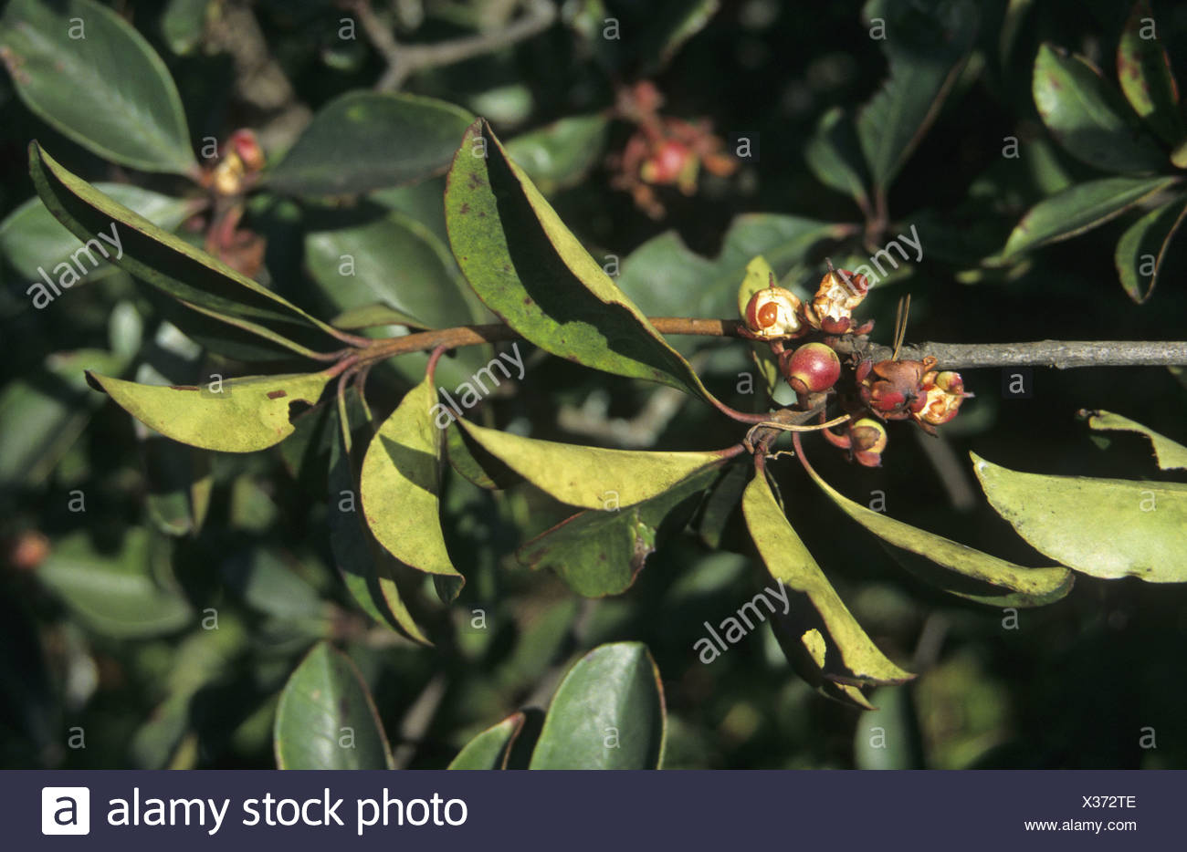Lei Gong Teng Tripterygium wilfordii leaf and fruit west of Kunming Yunnan China - Stock Image
