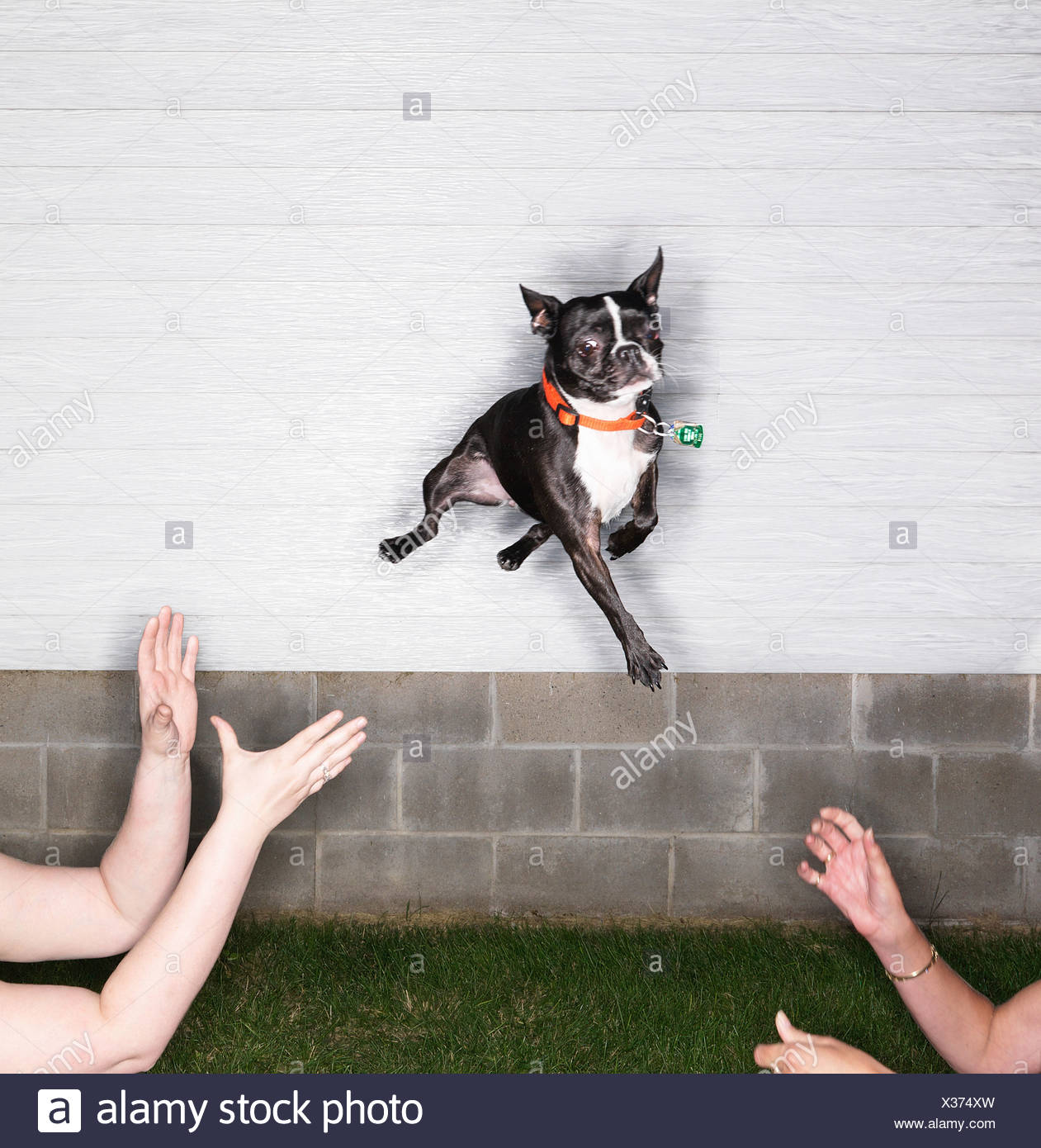 Boston Terrier leaping through air - Stock Image