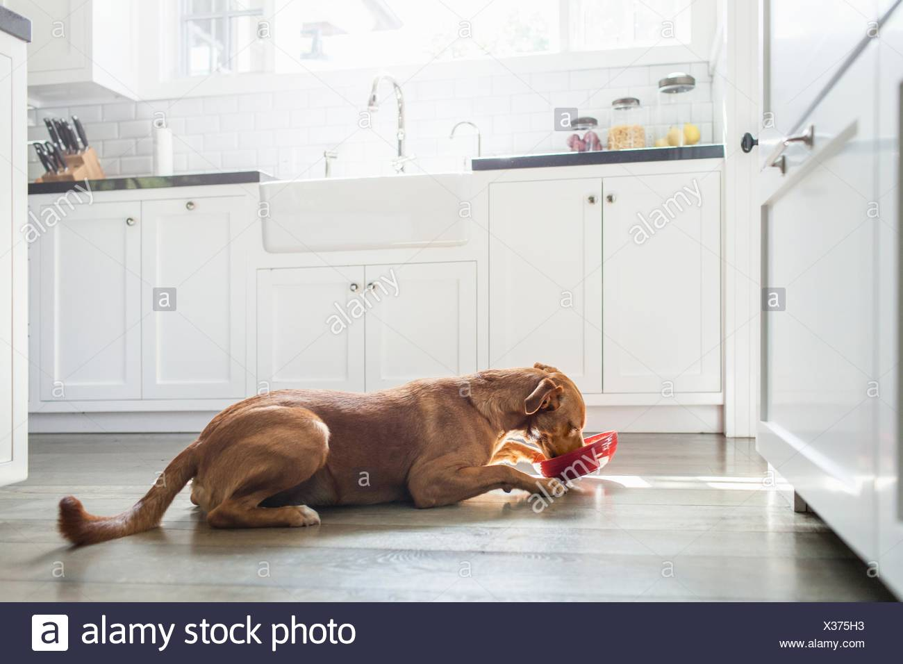 Side view of tan coloured dog lying in kitchen eating from red bowl - Stock Image