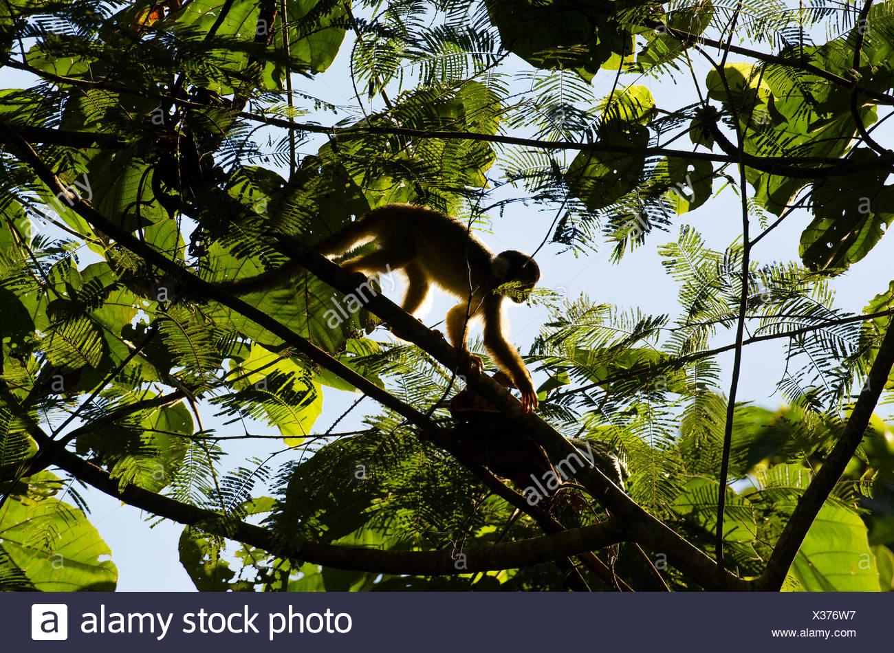 A squirrel monkey, Saimiri scireus, climbing in a tree top. - Stock Image