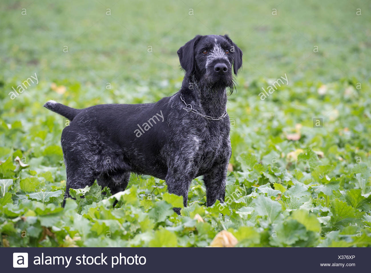 hunting dog at a hunting in arkeburg, goldenstedt, vechta district, niedersachsen, germany, 2013 - Stock Image
