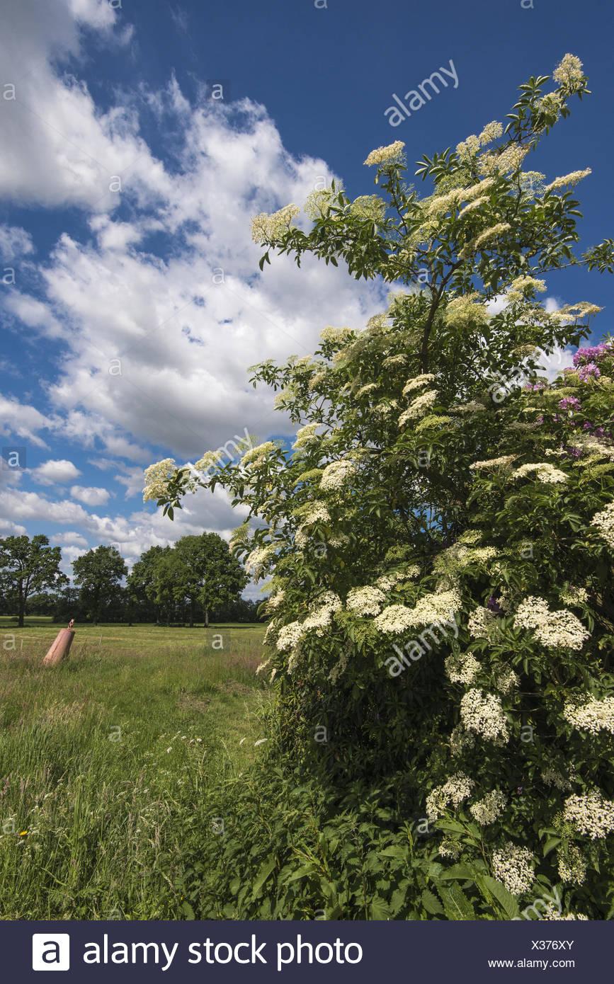 Flowering Elderberry Shrub Landkreis Cloppenburg Oldenburg
