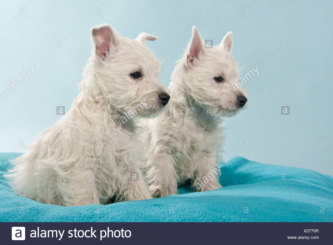 Two West Highland White Terriers, Westie puppies, sitting - Stock Image