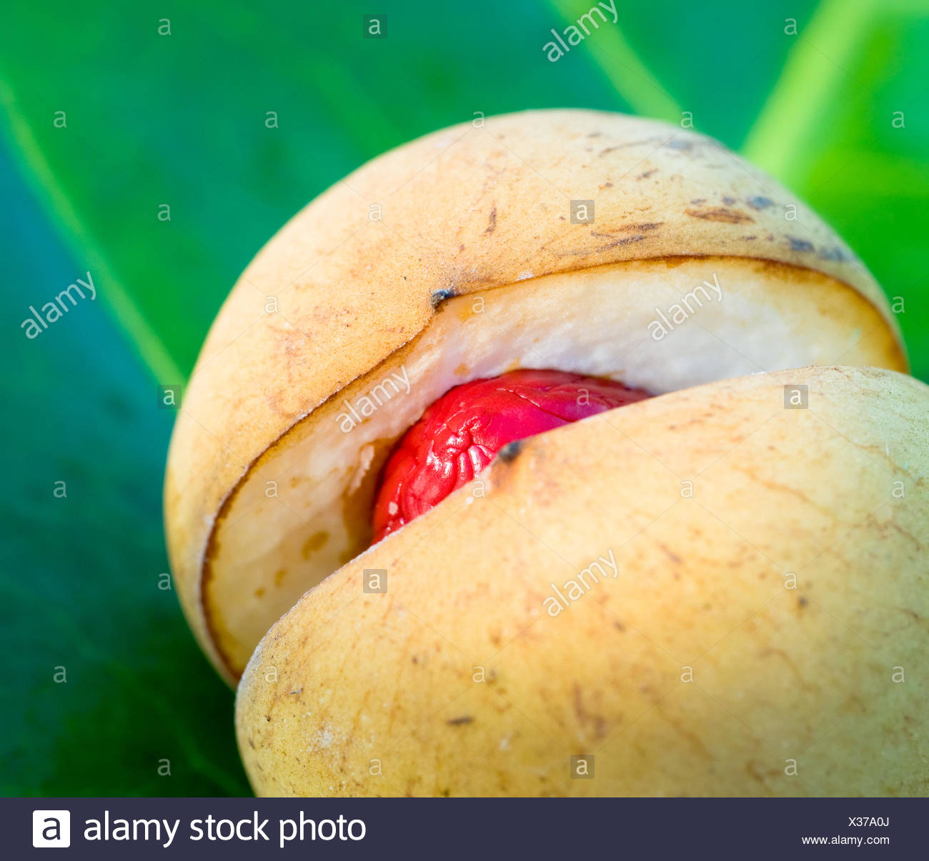 close up image of nutmeg, very shallow focus - Stock Image