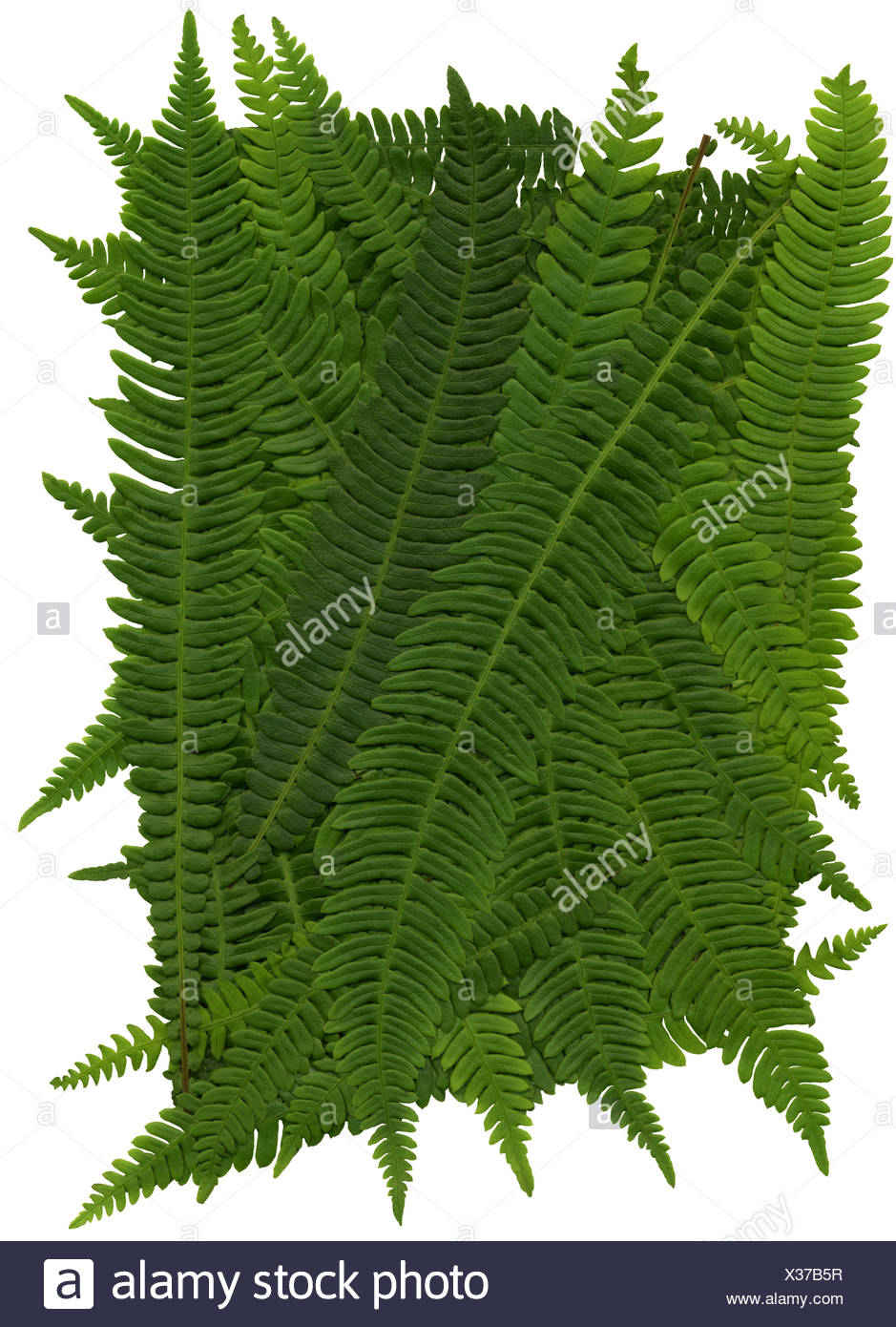 Texture of leaves of hard fern - Stock Image