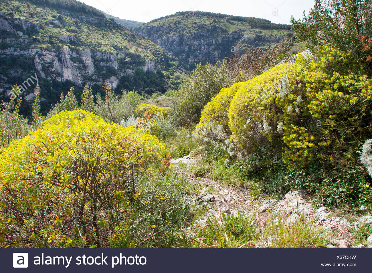 Woody Spurge (Euphorbia dendroides), in a maquis beneath a rockwall, Italy, Sicilia - Stock Image