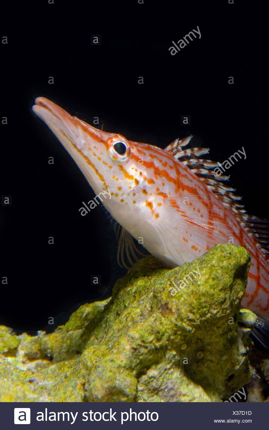 longnose hawkfish, oxycirrhites typus - Stock Image