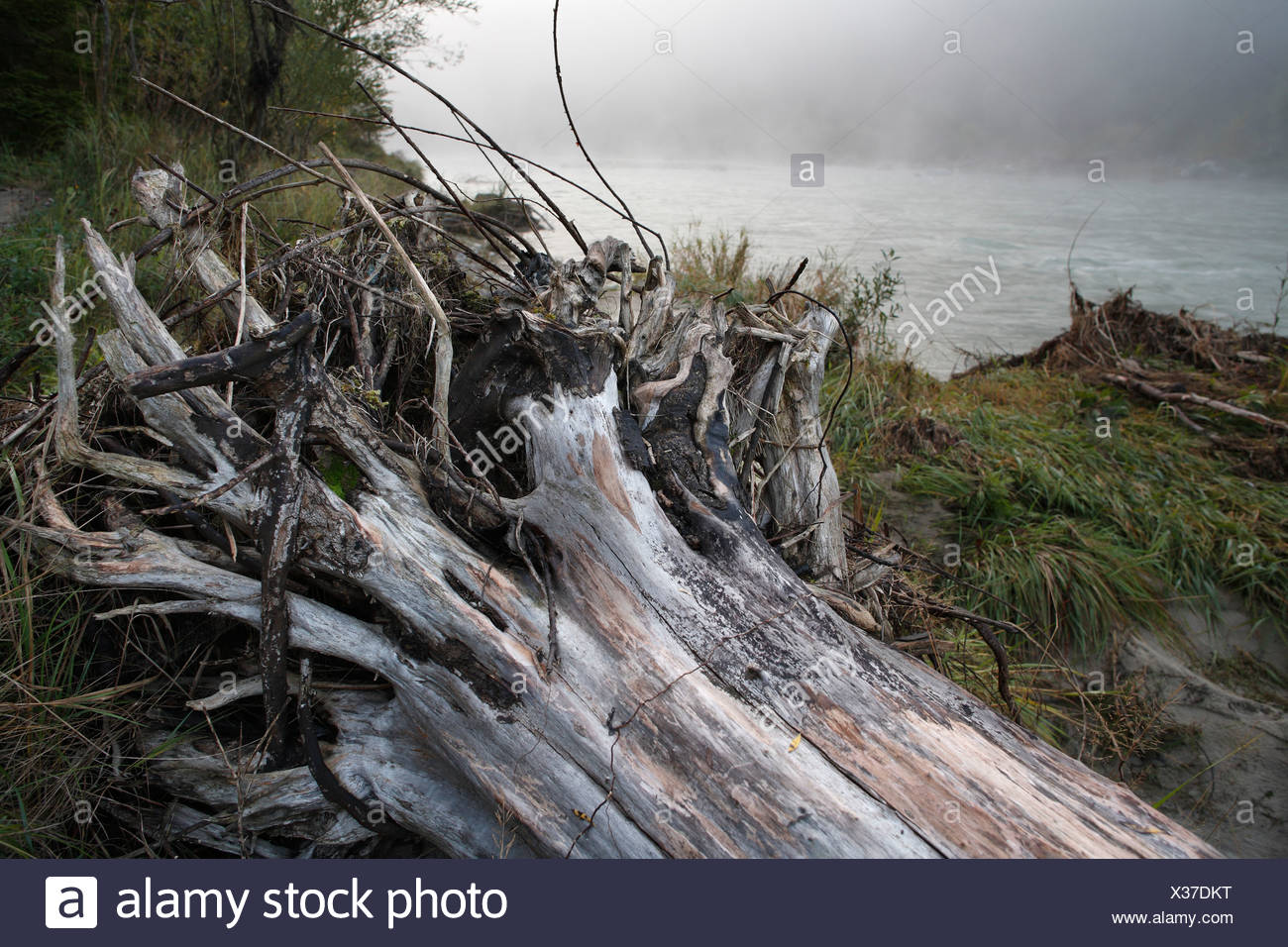 Tree root, Isar river, Upper Bavaria, Germany - Stock Image