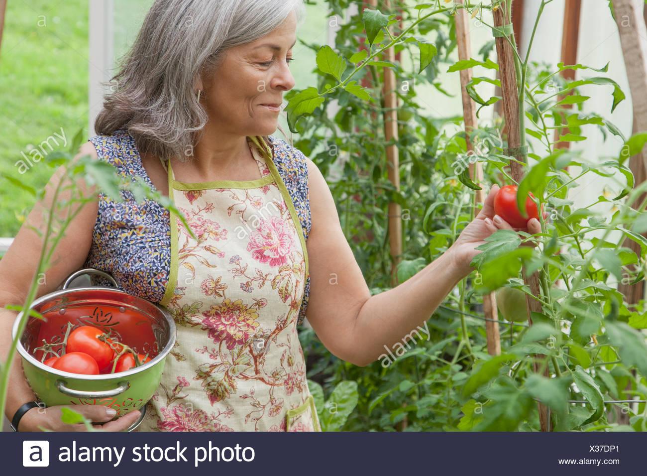 senior woman picking tomatoes in greenhouse garden - Stock Image