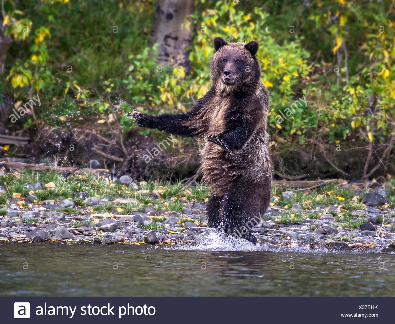 Grizzly Bear (Ursus arctos horribilis), Adult, startled and standing on edge of slamon stream, Fall, Autumn, Central British Columbia, Canada - Stock Image