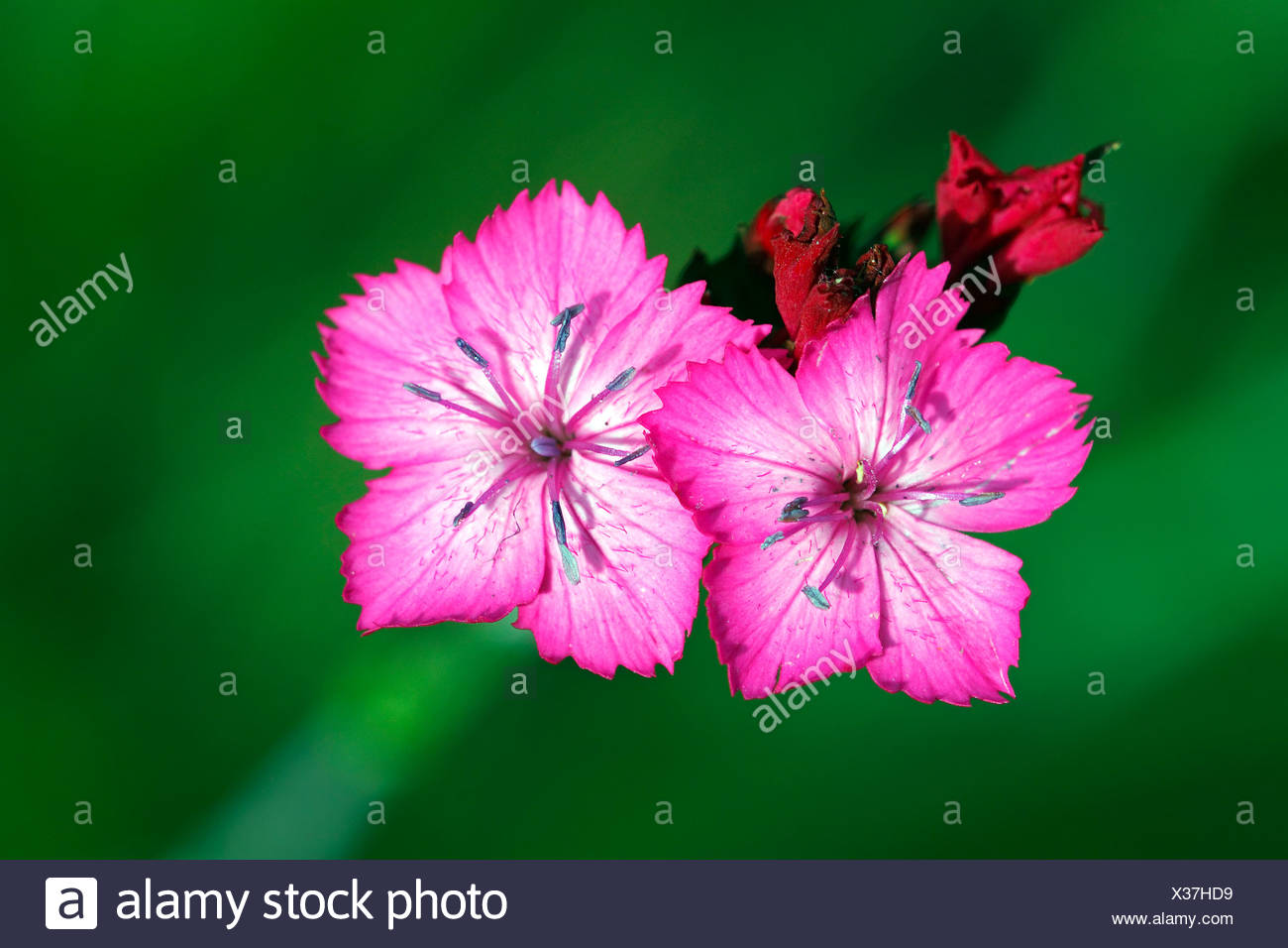 Carthusian Pink (Dianthus carthusianorum) Stock Photo