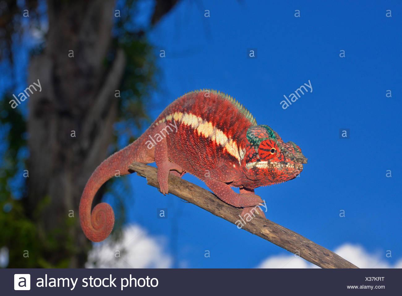 Male panther chameleon (Furcifer pardalis), lowland rainforests of Ankaramy, Northwestern Madagascar - Stock Image