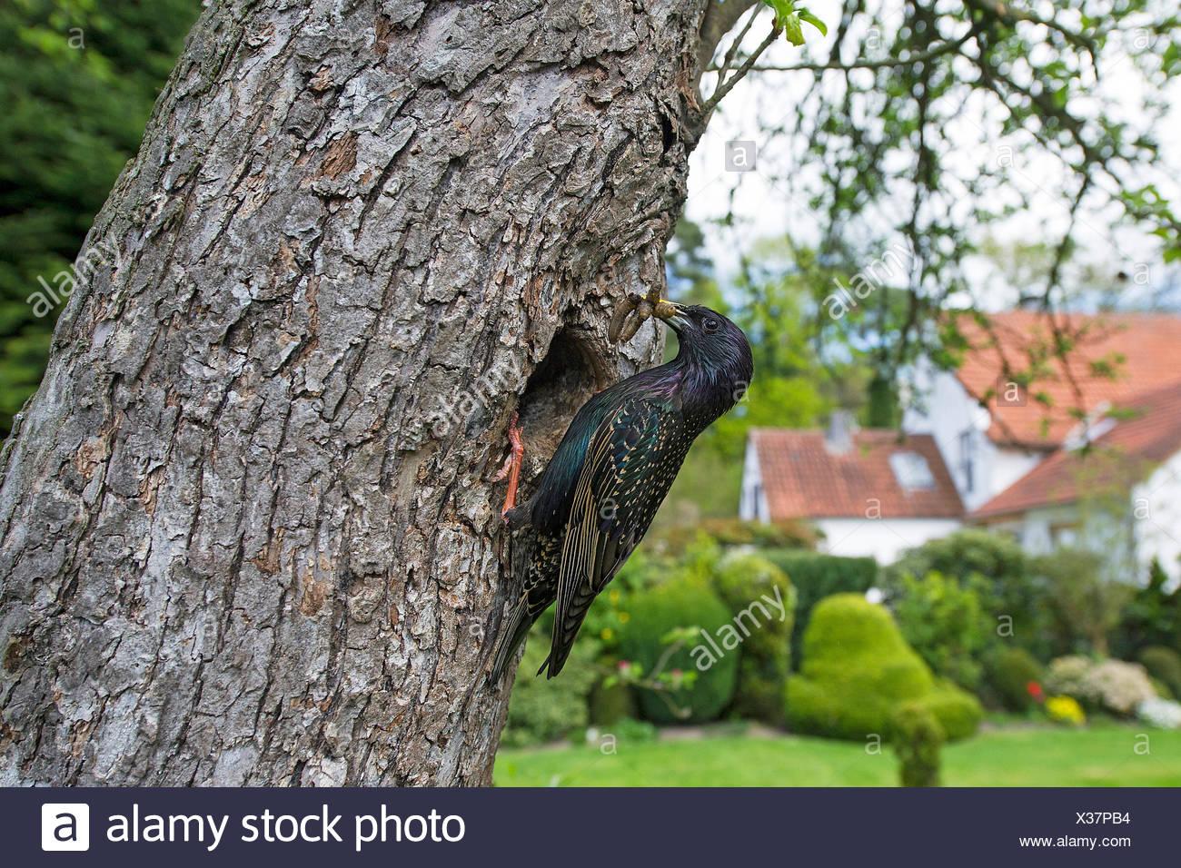 Star (Sturnus vulgaris), an seiner Bruthoehle mit Futter im Schnabel, Deutschland, NRW | common starling (Sturnus vulgaris), at  - Stock Image