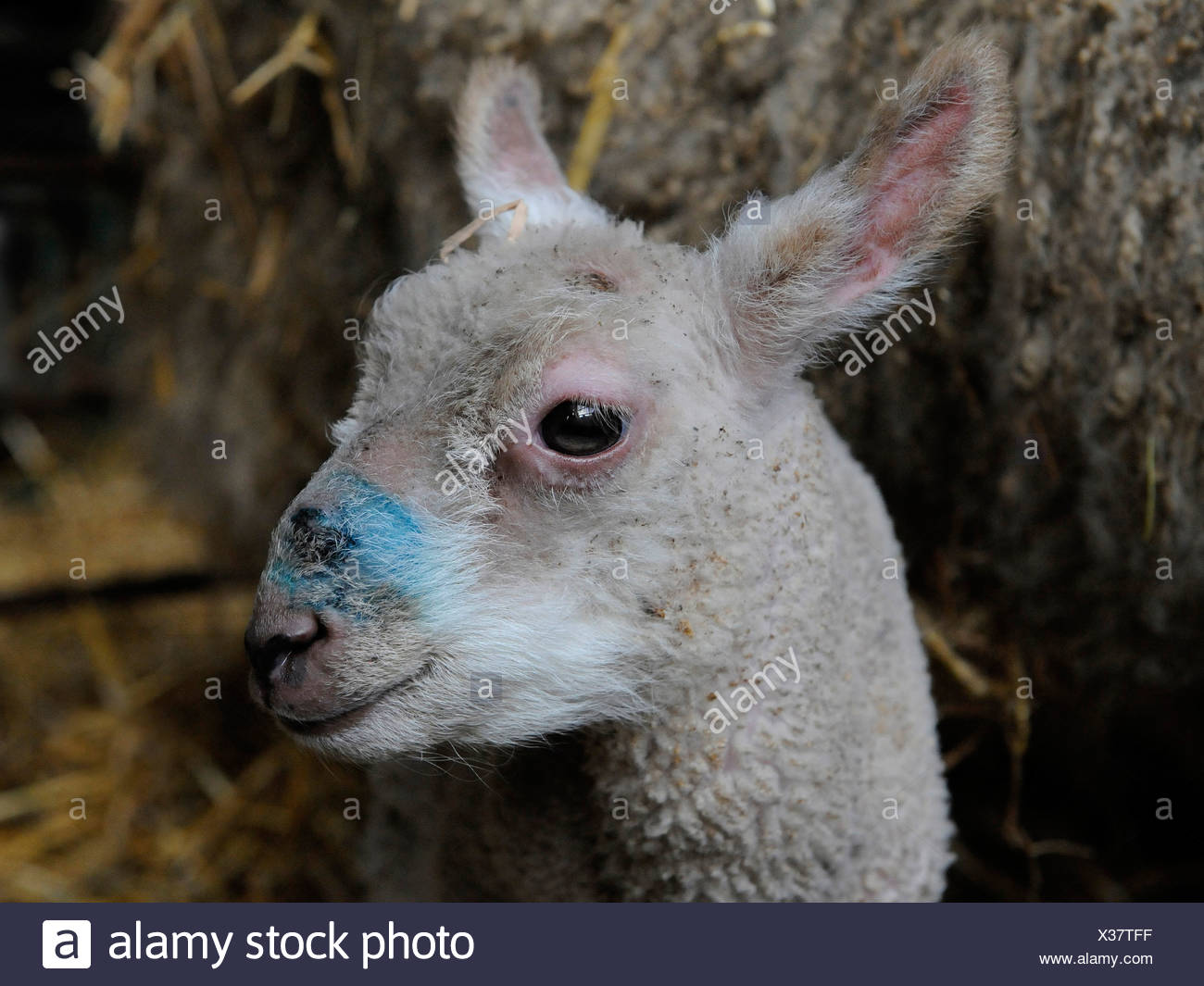 An odd looking baby lamb - Stock Image
