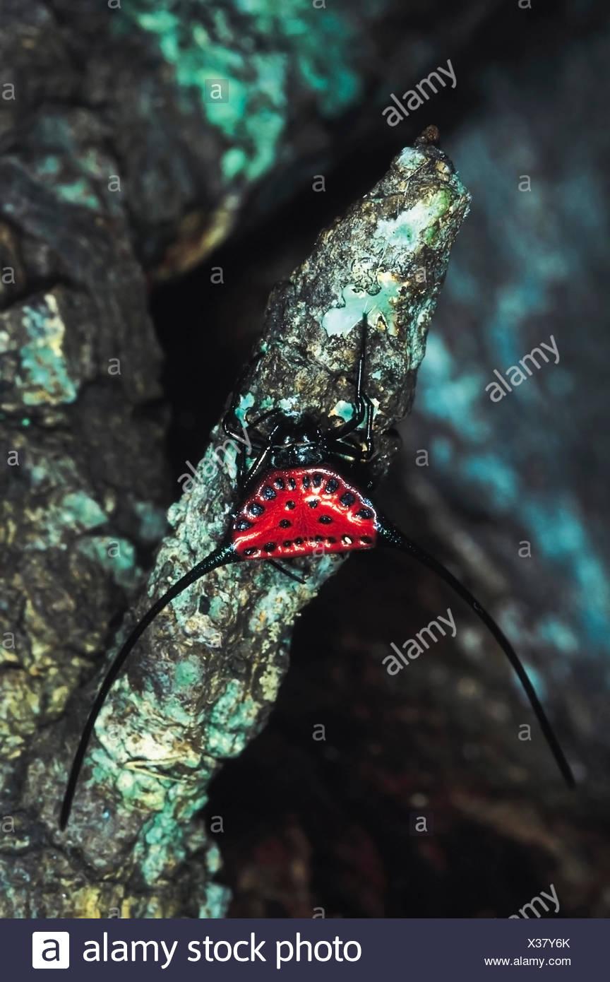 Gasteracantha Arcuata. Red Kite spider. Rarely available. Arunachal Pradesh, India. - Stock Image