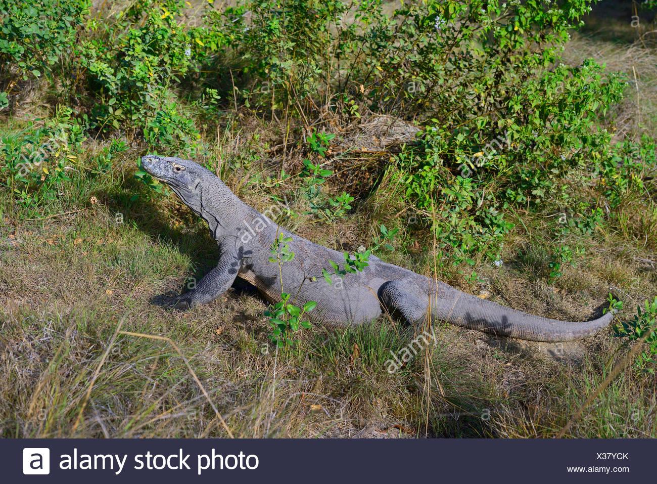 Komodo-Waran, Komodo Waran, Komodowaran (Varanus komodoensis), im Grasland, Seitenansicht, Indonesien, Rinca, Komodo Nationalpar - Stock Image