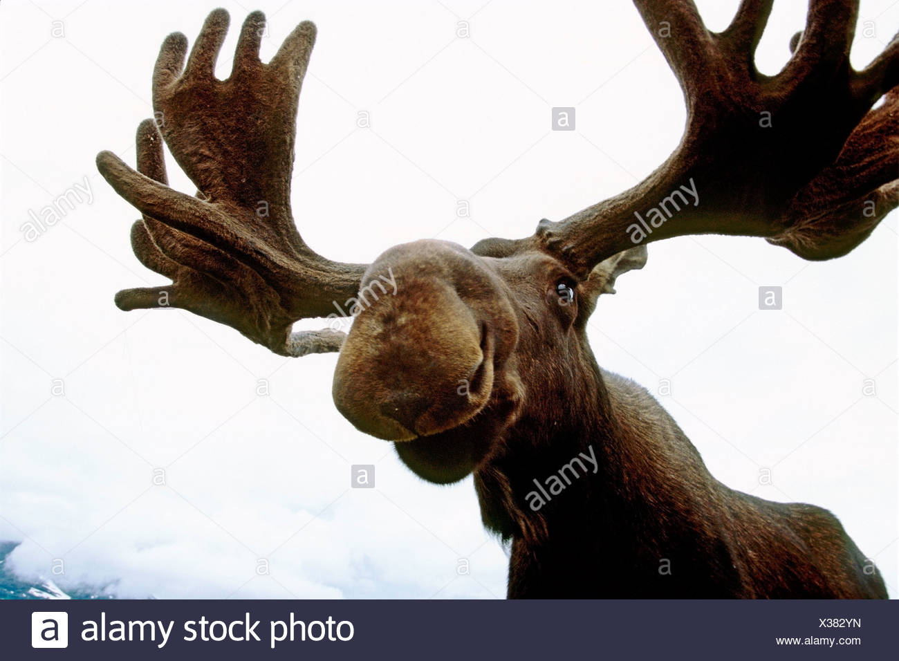 CAPTIVE: Low Angle view of a bull moose at the Alaska Wildlife Conservation Center CAPTIVE Stock Photo