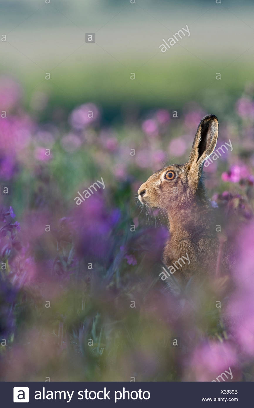 Brown Hare Lepus Europaeus among Red Campion in meadow North Norfolk spring - Stock Image