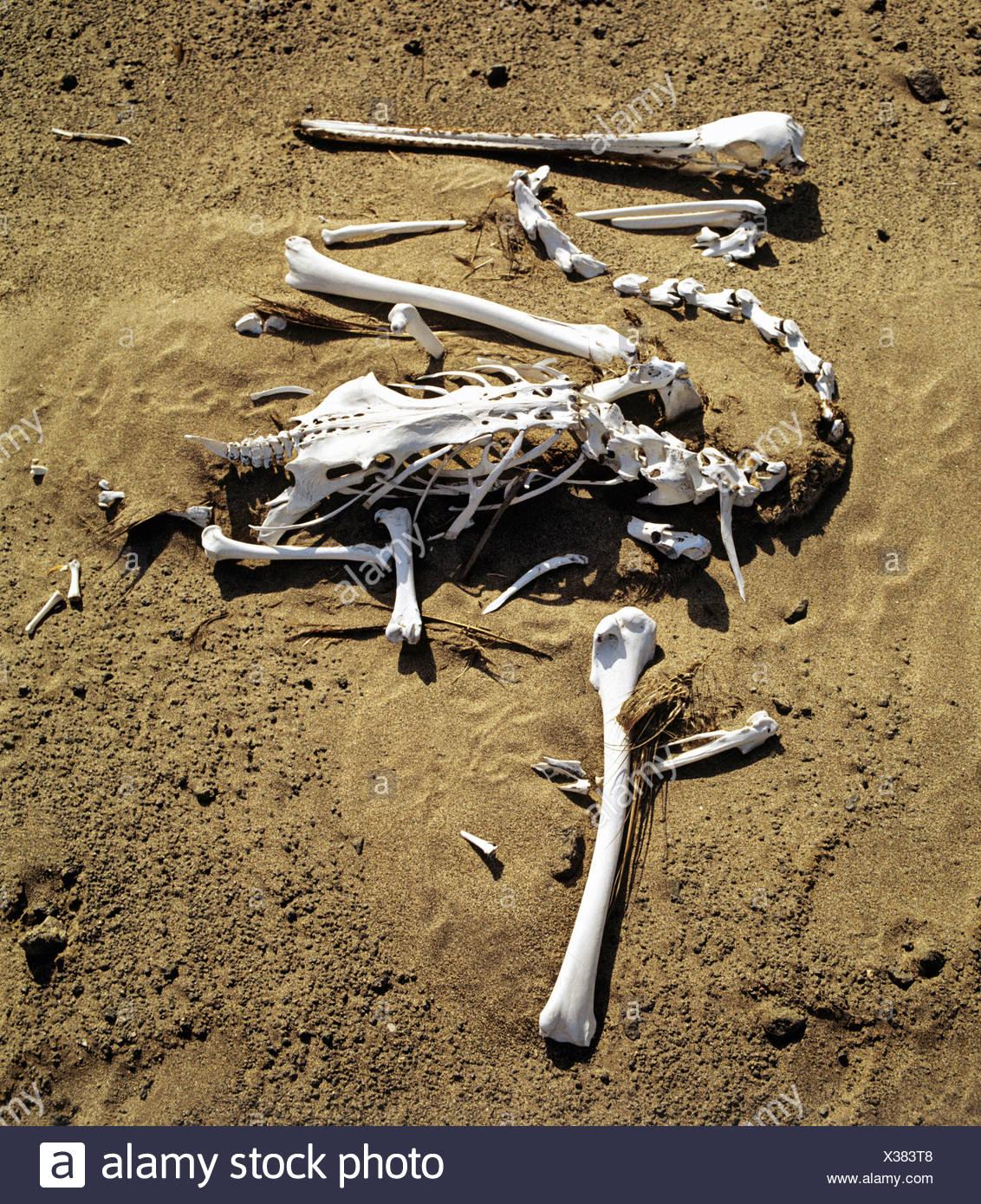 Pelican skeleton (Pelecanidae, Pelecanus) Stock Photo