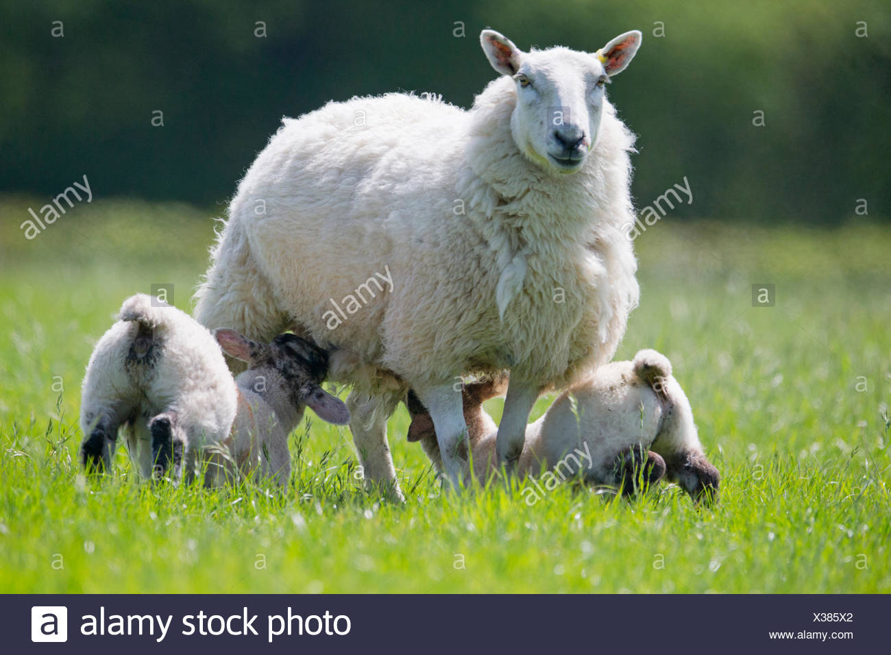 Lambs suckling sheep in sunny green spring field - Stock Image
