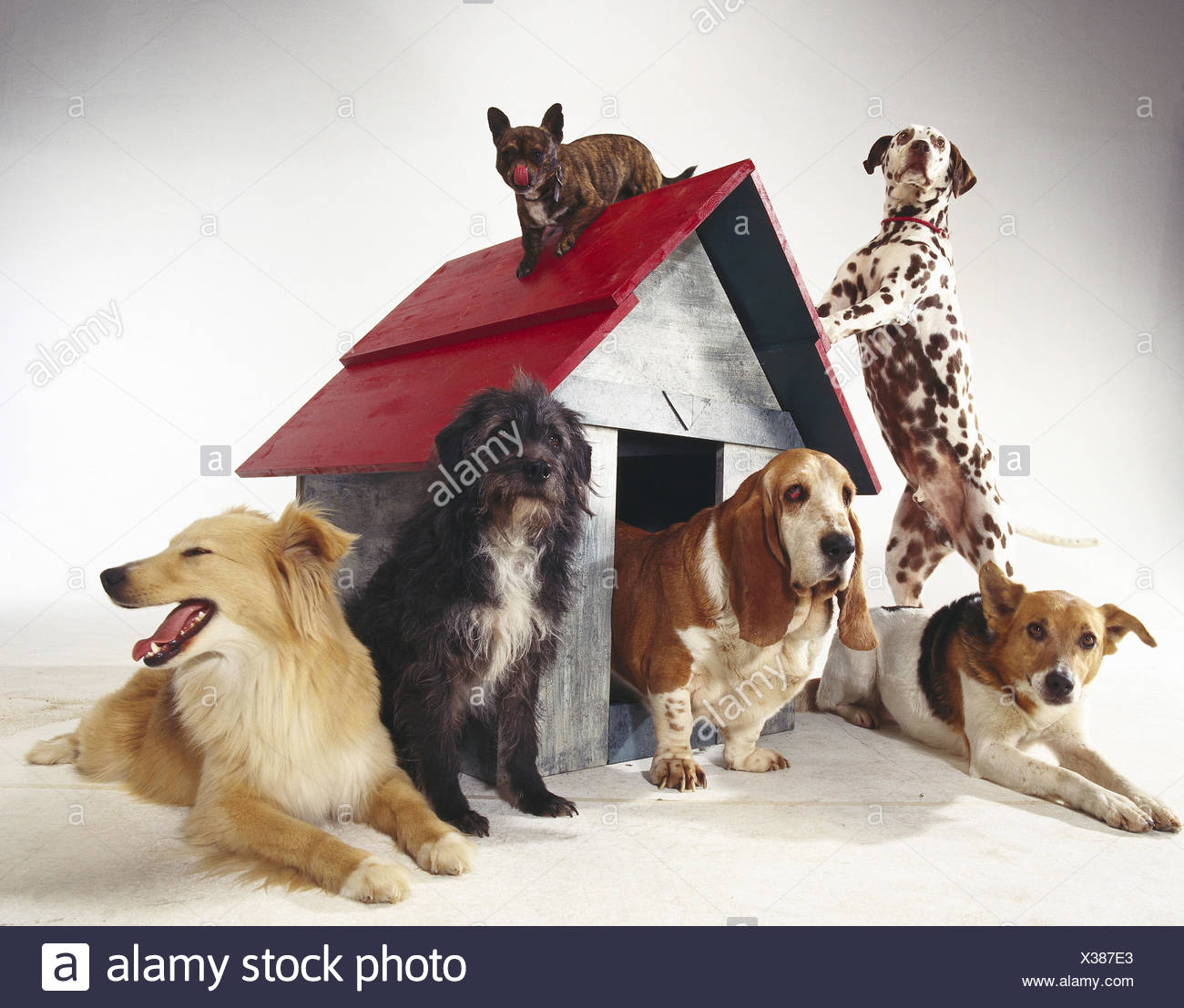 Dogs, different, kennel mammals, doggy, Canidae, pets, dogs, six, differently, pedigree dogs, hybrids, hybrid dogs, studio - Stock Image