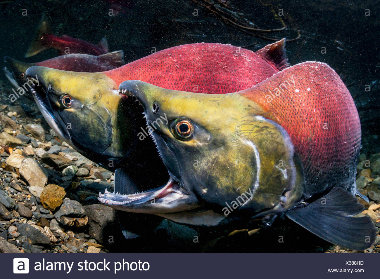 A male Sockeye Salmon (Oncorhynchus nerka) fends off an intruding male with the gape threat in an Alaskan stream during early summer. - Stock Image
