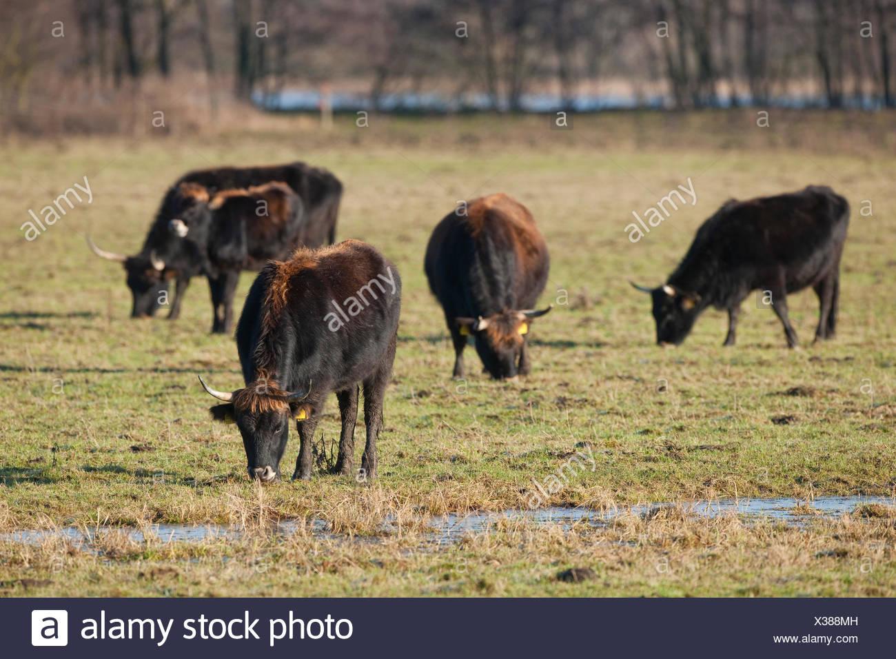 Heck cattle, breed back of extinct aurochs (Bos primigenius), herd, Volkswagen grazing project at NSG Ilkerbruch near Wolfsburg - Stock Image