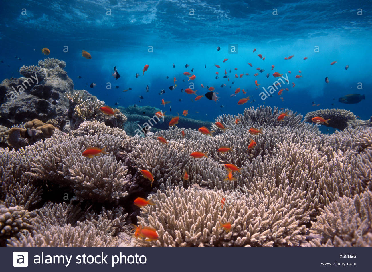 Coral reef scenery, shallow reef with wave and {Anthias} fish, Red Sea, Egypt BLUE_PLANET - Stock Image