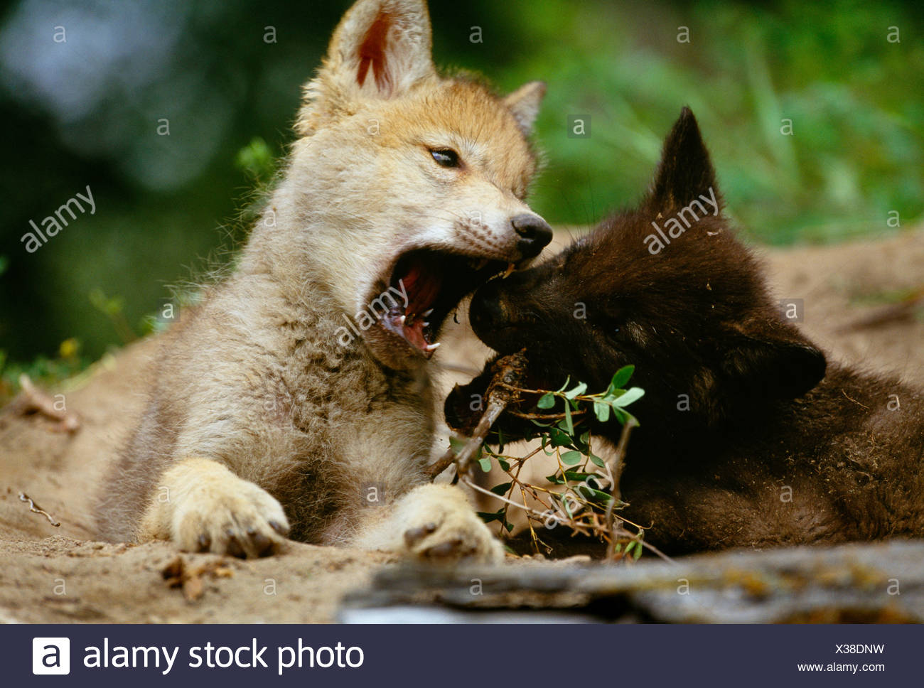 Grey wolf pups, Flathead Valley, Montana - Stock Image