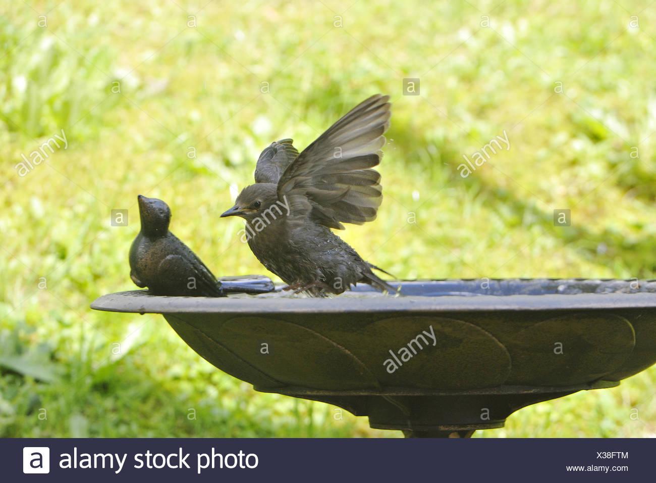 European Starling Stock Photo
