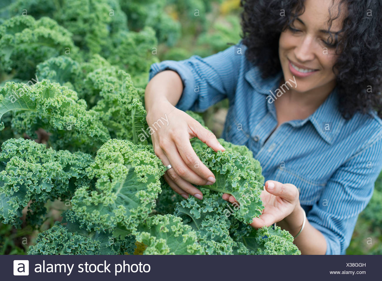 An organic vegetable farm. A woman working among the crisp curly kale crop. - Stock Image