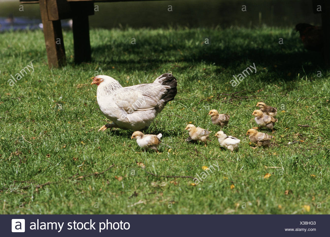 zoology / animals, avian / birds, chicken, (Gallus gallus domesticus), hen with chicks in meadow, distribution: worldwide, - Stock Image