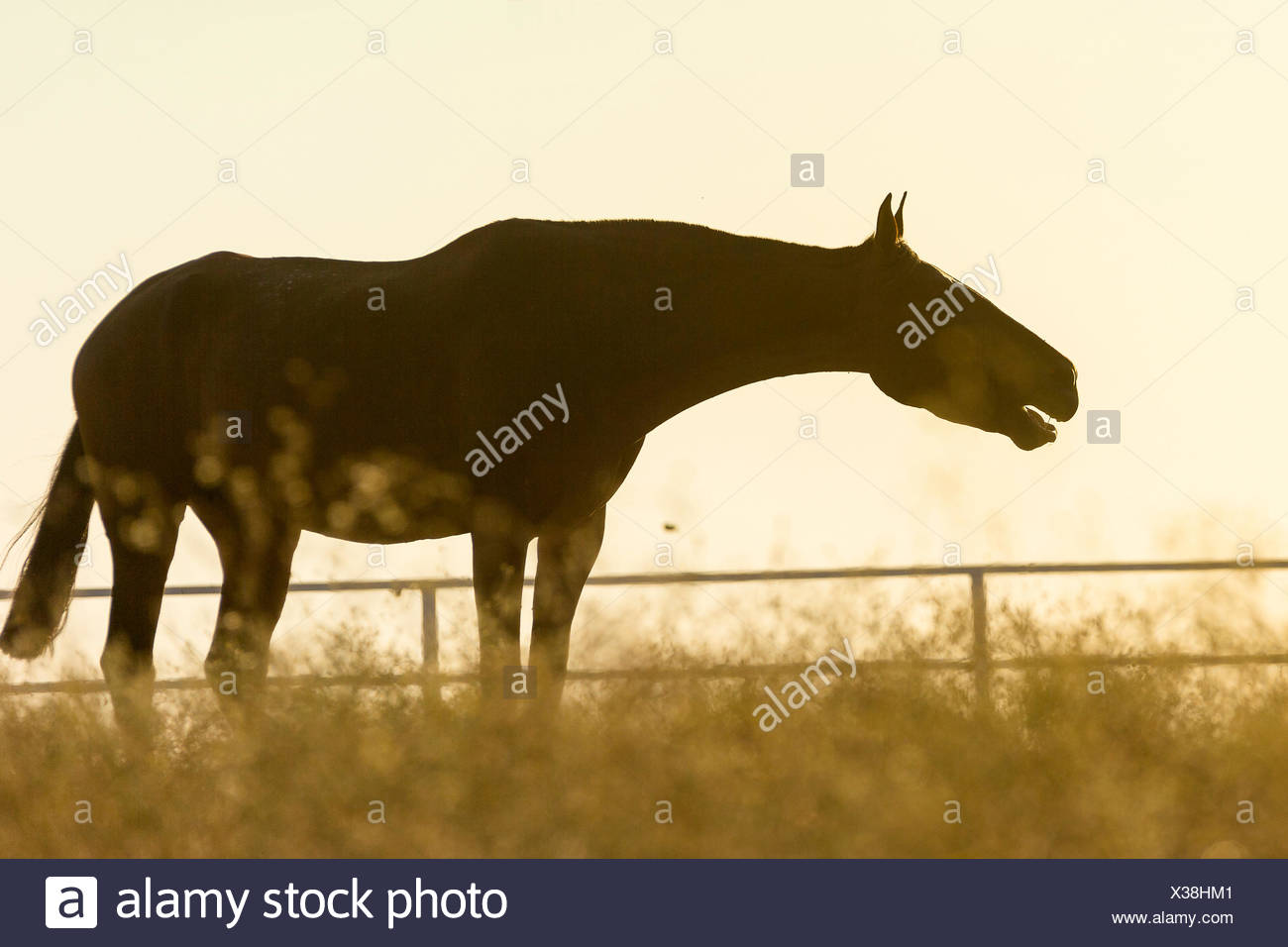 Pure Spanish Horse, Andalusian Horse on a pasture, coughing, silhouetted against the evening sky. Spain - Stock Image