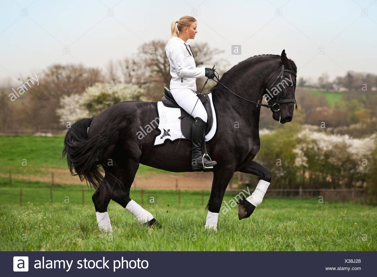 Friesian or Frisian horse, stallion with a female rider on horseback