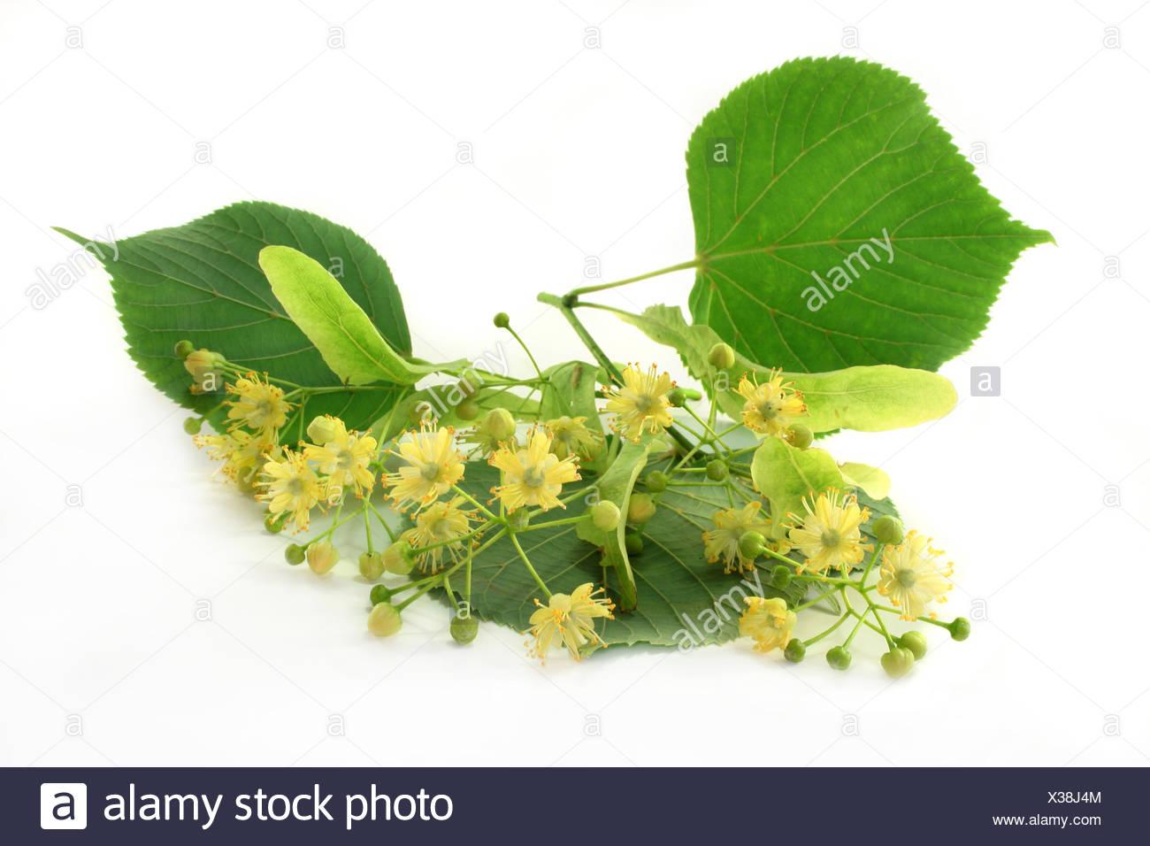 Echter Ziest Stachys officinalis Heilziest Betonie Heilpflanze Teepflanze