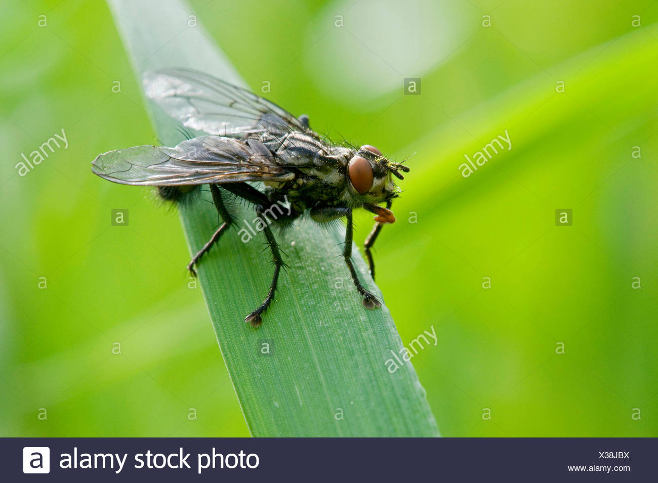 Flesh Fly (Sarcophaga spec.), sitting on a blade of grass - Stock Image