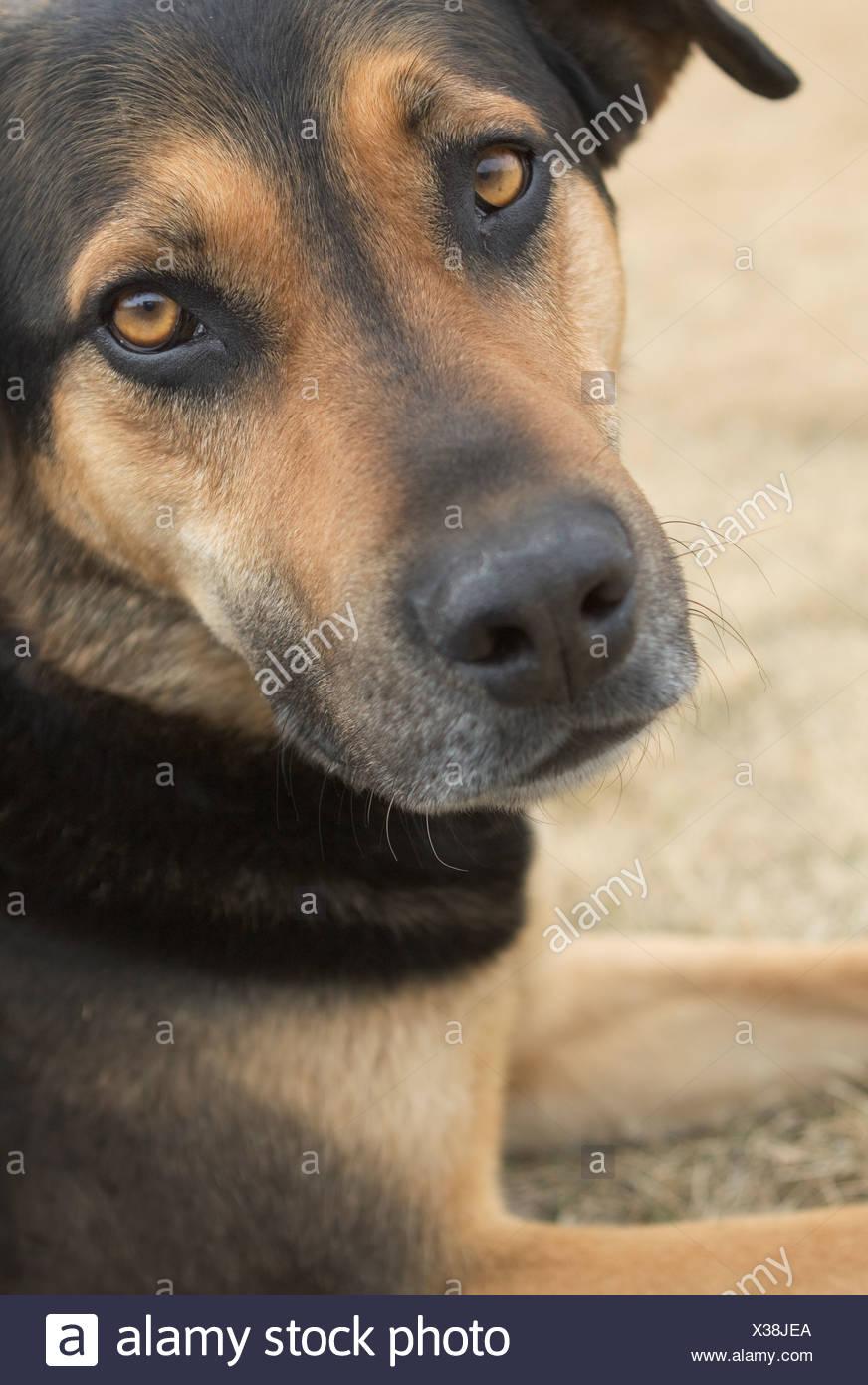 Close-up portraits of mixed breed dog - Stock Image