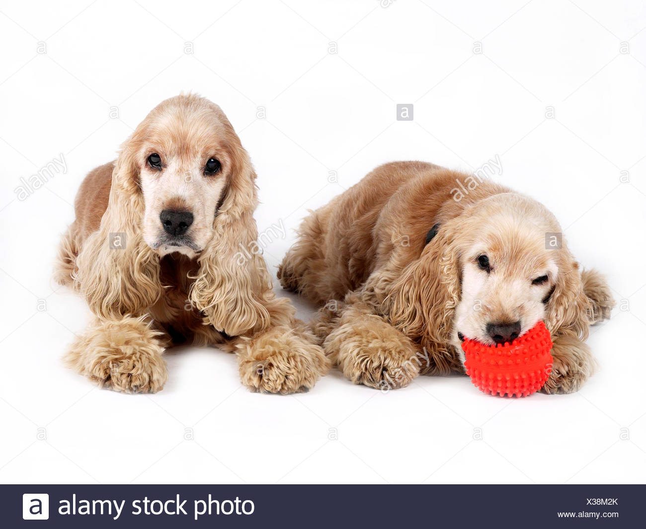 Two cocker spaniels with a ball , one happy one sad. - Stock Image
