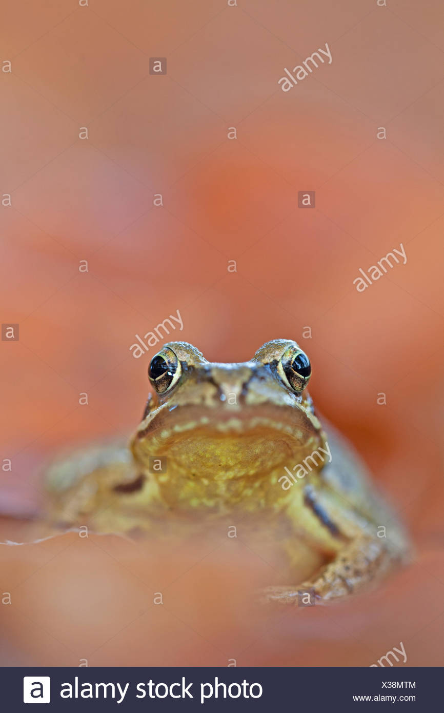 common frog between autumn leaves Stock Photo