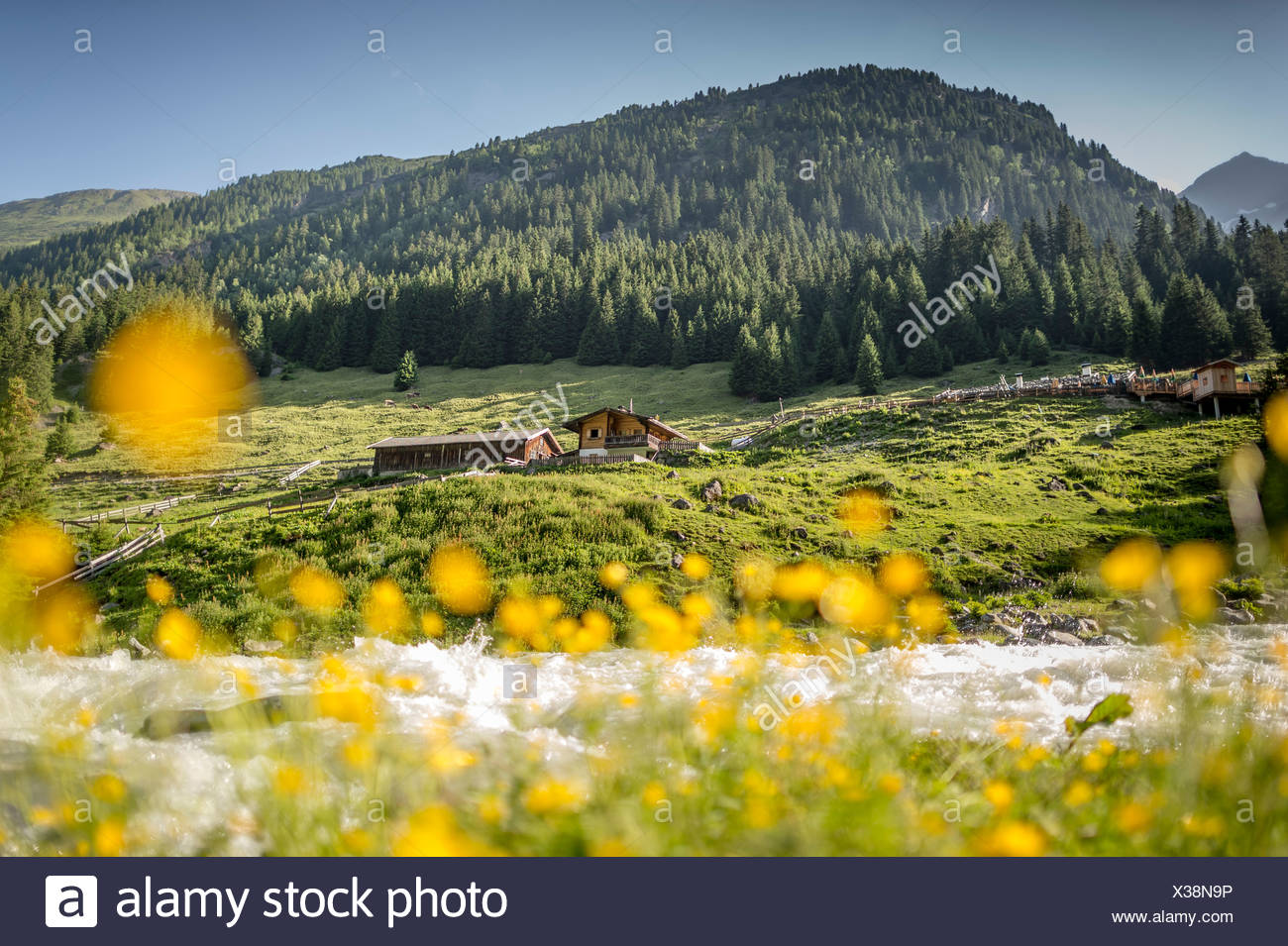 Buttercups (Ranunculus) in front of a mountain stream, mountain guesthouse at back, Grawa Alm, mountain pasture, Stubai Valley - Stock Image