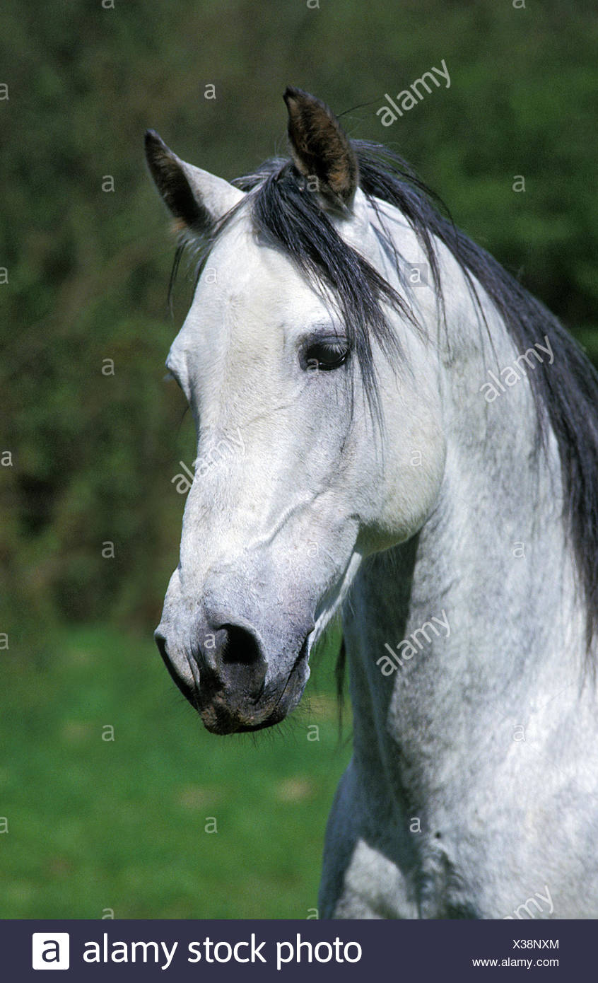 Andalusian Horse, Portrait of Stallion - Stock Image
