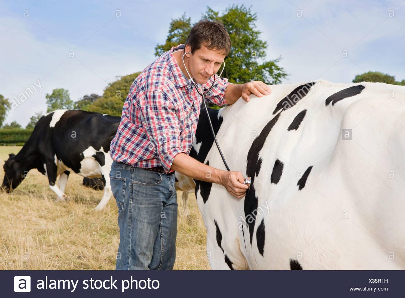 Vet Examining Fresian Cattle In Field - Stock Image
