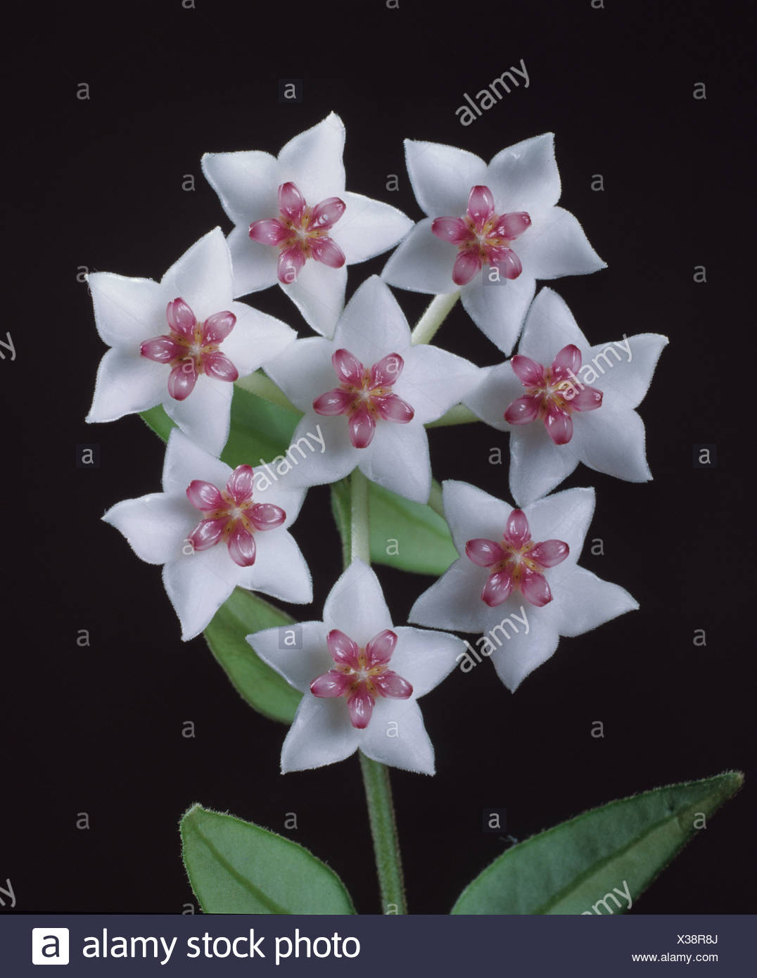 Hoya Bella Flower Plant Stock Photos Hoya Bella Flower Plant Stock